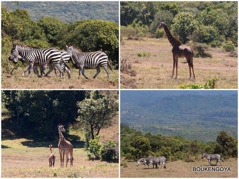 Zebra&giraffe.jpg